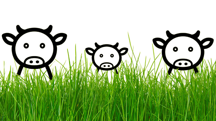 Cows in long grass